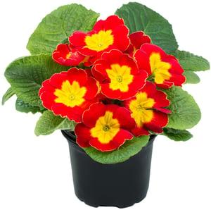 Petrklíč mix barev, Ø květináče 9cm