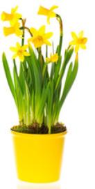 Narcisky v květináči, Ø květináče 12cm