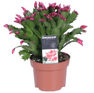 Vánoční kaktus mix barev, 70+ květů, Ø květináče 13 cm