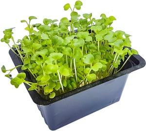 Microgreens - brokolice, vanička