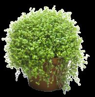 Soleirolia, Ø květináč 9cm