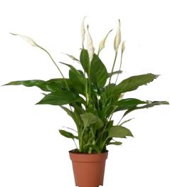 Lopatkovec Ø květináče 9 cm