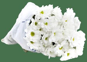 Chryzantéma bílá