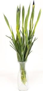 Iris mix barev