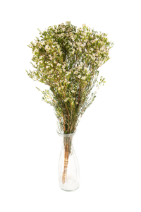 Waxflower mix barev
