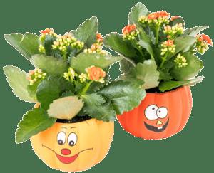 Kalanchoe halloween Ø květináče 9 cm