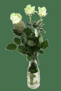 Růže svítící