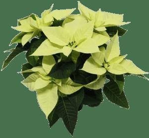 Vánoční hvězda bílá vícevýhonová, Ø květináče 13 cm