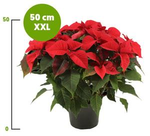 Vánoční hvězda XXL červená vícevýhonová, Ø květináče 21 cm