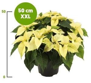 Vánoční hvězda XXL bílá vícevýhonová, Ø květináče 21 cm