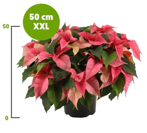 Vánoční hvězda XXL růžová vícevýhonová, Ø květináče 21 cm