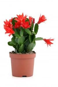 Vánoční kaktus 30+květů,  Ø květináče 9 cm