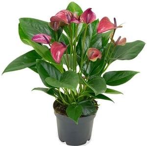 Anthurium růžový, Ø květináče 12cm