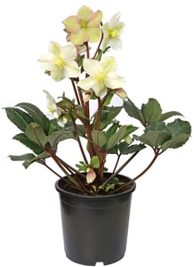 Čemeřice, Ø květináče 10,5cm